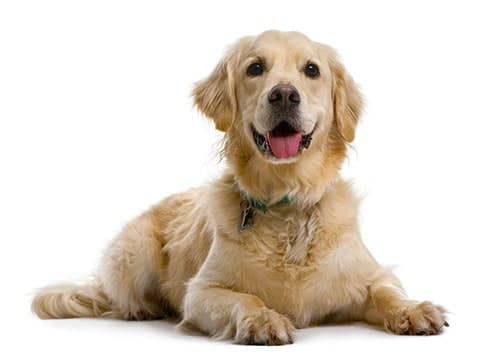 golden retriever testimonials