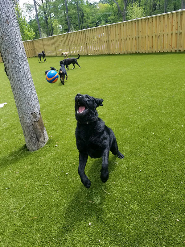 Black dog catching a ball